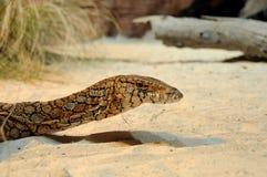 Australian Goanna Head. Australian reptile Goanna Head close-up stock photography