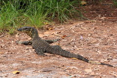 Australian Goanna/Lace Monitor (Varanus varius) Royalty Free Stock Photos