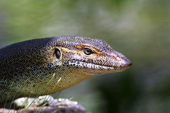 Australian Goanna/Lace Monitor Stock Photo