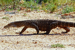 Australian Goanna/Lace Monitor (Varanus varius) Stock Photo