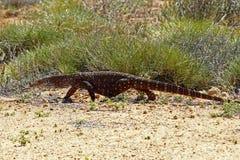 Australian Goanna/Lace Monitor (Varanus varius) Royalty Free Stock Photography