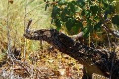 Australian Goanna/Lace Monitor (Varanus varius) Royalty Free Stock Images