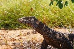 Australian Goanna/Lace Monitor (Varanus varius) Royalty Free Stock Image