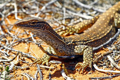 Australian Goanna/Lace Monitor (Varanus varius) Royalty Free Stock Photo