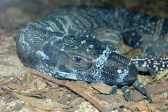 Australian Goanna Lizard Stock Image