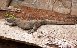Australian Goanna, sleeping on a log Royalty Free Stock Images