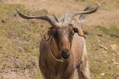 Australian Goat. With a good set of horns Royalty Free Stock Image