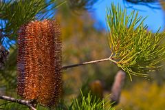 Australian Gold-and-red Styles Lantern Banksia Royalty Free Stock Image