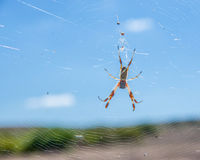Australian Golden Orb Spider Stock Images