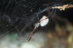 Australian golden orb weaver Stock Photography