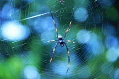 Australian Golden Orb Weaving Spider in Web Royalty Free Stock Image