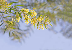 Australian Golden wattle Spring flowers Acacia fimbriata Stock Images