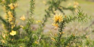 Australian golden wildflower Grevillea juniperine molonglo panor Royalty Free Stock Photography