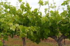 Australian grape bushes Stock Photos