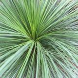 Australian grass tree green. Looking into an Australian grass tree Stock Images