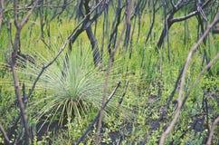 Australian grass tree regenerating after bushfire. Regrowth of an Australian grass tree, Xanthorrhoea, amongst blackened trees after a bushfire in heathland in Stock Photos