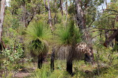 Australian Grass Trees in Forest Royalty Free Stock Images