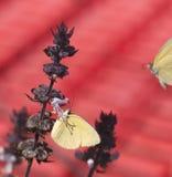Australian grass-yellow butterfly Eurema Royalty Free Stock Photos