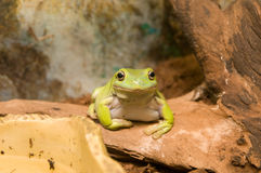 Australian green tree frog Royalty Free Stock Images