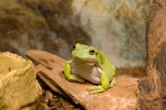 Australian green tree frog Royalty Free Stock Image