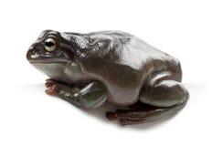 Australian Green Tree Frog Stock Images