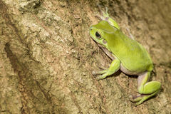Australian Green Tree Frog. On a tree Royalty Free Stock Photography