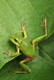 Green frog climbing a leaf Stock Image