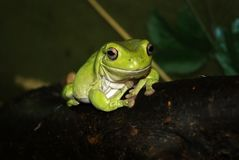 Australian green tree frog closeup on a dark background royalty free stock photo