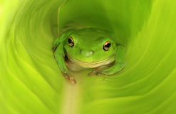 Green frog in new green leaf. An Australian Green Tree Frog in a large broad leaf which has yet to fully unfurl Stock Photo