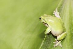 Australian Green Tree Frog. On a leaf Stock Photo