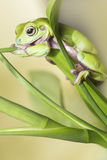 Australian Green Tree Frog. On a leaf Stock Images