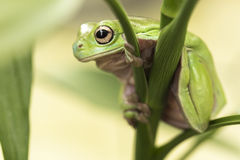 Australian Green Tree Frog. On a leaf royalty free stock image