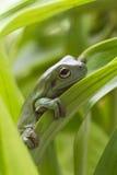 Australian Green Tree Frog Stock Photography