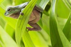 Australian Green Tree Frog Royalty Free Stock Photography