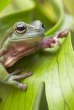Australian Green Tree Frog Royalty Free Stock Photo