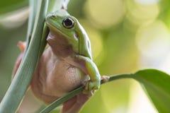 Australian Green Tree Frog. On a leaf Stock Image