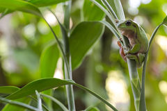 Australian Green Tree Frog. On a leaf Stock Photography