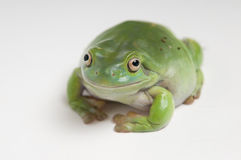 Australian green tree frog from left side Royalty Free Stock Images