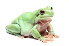 Australian Green Tree Frog (Litoria caerulea) Stock Images