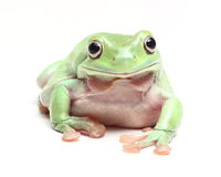 Australian Green Tree Frog (Litoria caerulea) Stock Image