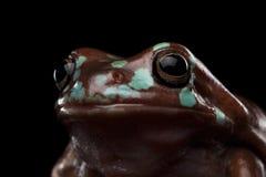 Australian green tree frog, or Litoria caerulea  black background Stock Photo