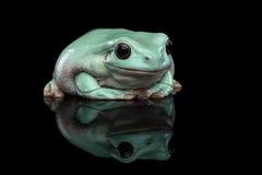 Australian green tree frog, or Litoria caerulea  black background Royalty Free Stock Photos