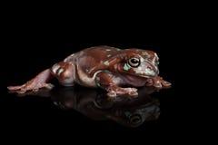 Australian green tree frog, or Litoria caerulea  black background Stock Images