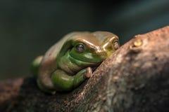 Australian green tree frog (Litoria caerulea) Royalty Free Stock Image