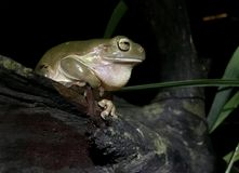 Australian Green Tree Frog. A green tree frog at an Outback oasis at night Stock Photography