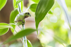 Australian Green Tree Frog. On a Plant Royalty Free Stock Images