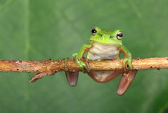 Green frog on vine. An Australian Green Tree Frog sitting on a horizontal length of vine Royalty Free Stock Photography