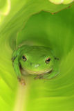 Sitting green frog. An Australian Green Tree Frog sitting inside a large broad green leaf Royalty Free Stock Photo