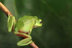 Green frog sitting on vine Stock Photo