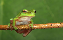 Green tree frog on vine. An Australian Green Tree Frog sitting on a vine with green leaf background Royalty Free Stock Photography